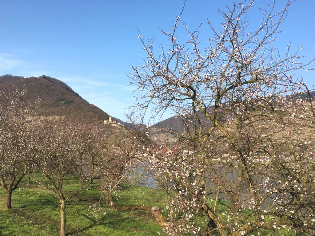 Die Marillenblüte in der Wachau im April 2019