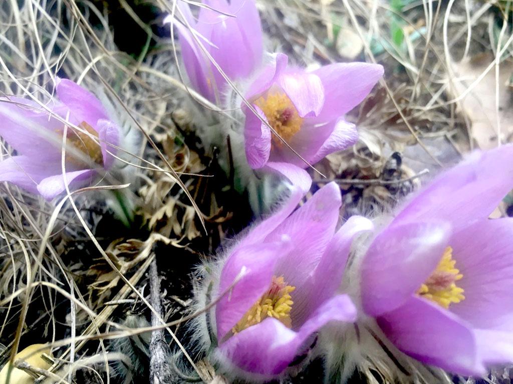 Pulsatilla Blüten Im Februar in der Wachau am Setzberg